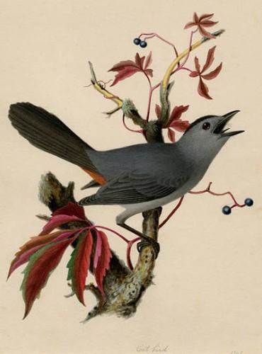 Catbird on Virginia Creeper by Isaac Sprague
